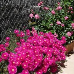 информация, описания, фото балконных цветов