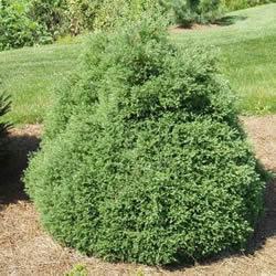 информация, описания, фото <a target=_top  href=/poisk/садовых><big>садовых</big></a> декоративных кустарников