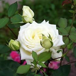 информация, описания, фото <a target=_top  href=/search/красивоцветущих><big>красивоцветущих</big></a> садовых кустарников