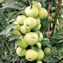 информация, описания, фото сортов яблок