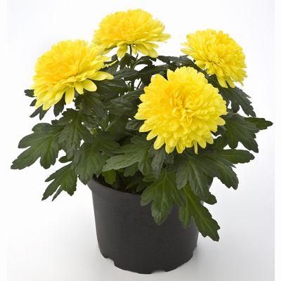 Впрочем число видов, культивируемых в цветоводстве...  По фэн-шуй хризантема...