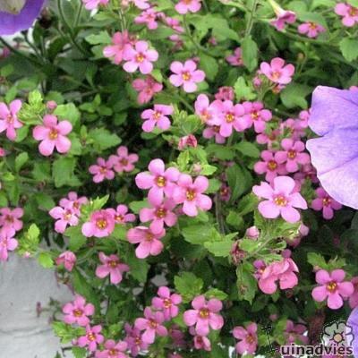 садовые цветы Бакопа (Сутера) сиреневые, розовые, голубые, белые фото, выращивание, посадка и уход, купить Бакопа (Сутера) семен