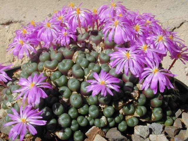 http://www.solnsad.ru/image-kom-kaktusy/42_151.jpg