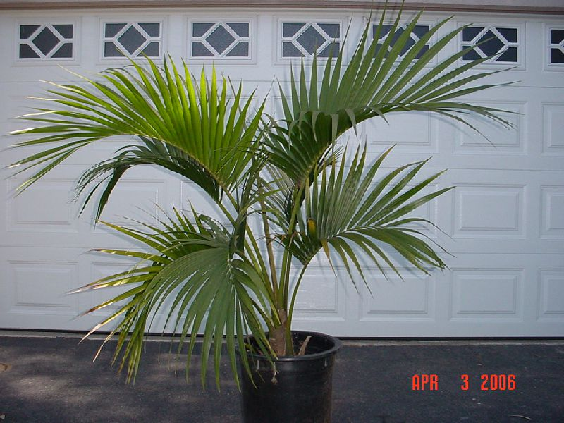 Декоративные домашние растения ховея