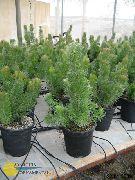 фото Аденантос деревья декоративные балконные растения