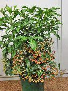 фото Ардизия деревья декоративные балконные растения