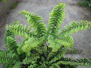 фото Адиантум травянистые декоративные балконные растения