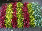 фото Альтернантера кустарники декоративные балконные растения