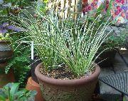 фото Аир травянистые декоративные балконные растения