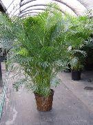 фото Арека (Бетель) деревья декоративные балконные растения