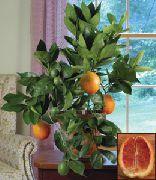 фото Апельсин деревья декоративные балконные растения