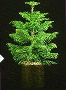 фото Араукария деревья декоративные балконные растения