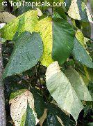 фото Акалифа Уилкса кустарники декоративные балконные растения