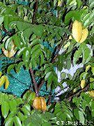 фото Аверройя (Карамбола) деревья декоративные балконные растения