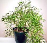 фото Аспарагус ампельные декоративные балконные растения