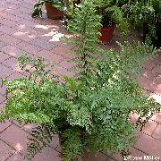фото Асплениум (Костенец) травянистые декоративные балконные растения