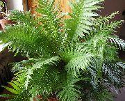 фото Блехнум травянистые декоративные балконные растения