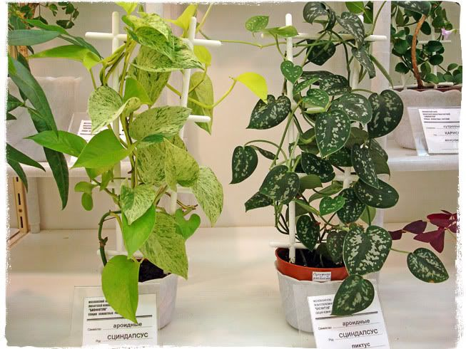Лиана растение уход в домашних условиях 233