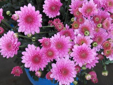 Фото домашние цветы хризантема цвет