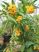 фото Цеструм кустарники домашние комнатные цветы и растения