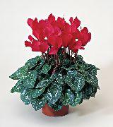 фото Цикламен травянистые домашние комнатные цветы и растения