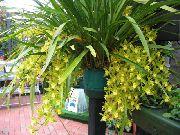 фото Цимбидиум травянистые домашние комнатные цветы и растения