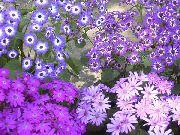 фото Цинерария окровавленная (Крестовник) травянистые домашние комнатные цветы и растения