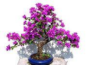 фото Бугенвиллия (Арека)  кустарники домашние комнатные цветы и растения