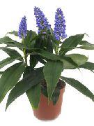 фото Дихоризандра травянистые домашние комнатные цветы и растения