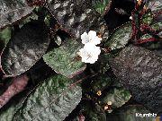 фото Гемиграфис ампельные домашние комнатные цветы и растения