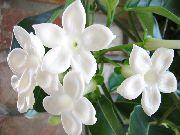 фото Стефанотис лиана домашние комнатные цветы и растения
