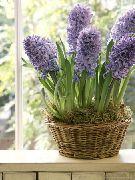 фото Гиацинт травянистые домашние комнатные цветы и растения