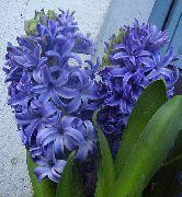 фото домашние цветы Гиацинт, цвет голубой, Hyacinthus Blue Pearl
