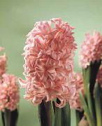 фото домашние цветы Гиацинт, цвет розовый, Hyacinthus Anna Marie