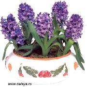 фото домашние цветы Гиацинт, цвет фиолетовый, Гиацинт восточный - Hyacinthus orientalis