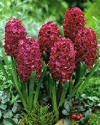 фото домашние цветы Гиацинт, цвет бордовый, Гиацинт восточный - Hyacinthus orientalis