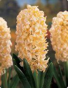 фото домашние цветы Гиацинт, цвет желтый, Hyacinth 'Yellow Queen'