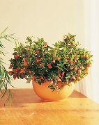 фото Гипоцирта ампельные домашние комнатные цветы и растения