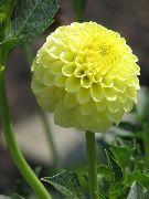 фото домашние цветы Георгина, цвет желтый,