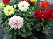 фото домашние цветы Георгина, цвет белый,