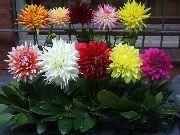 фото домашние цветы Георгина, цвет оранжевый, Георгина - Dahlia
