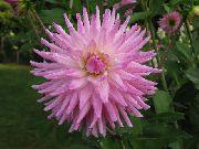 фото домашние цветы Георгина, цвет розовый, Георгина - Dahlia