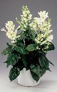 фото Витфильдия кустарники домашние комнатные цветы и растения