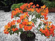 фото Стрептосолен деревья домашние комнатные цветы и растения