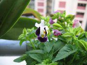 фото Торения ампельные домашние комнатные цветы и растения