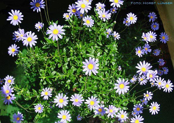Фелиция цветы выращивание 1