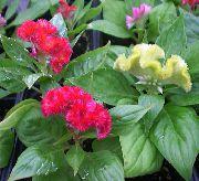 фото Целозия травянистые домашние комнатные цветы и растения