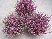 фото Эрика кустарники<noindex><a target=_blank  href=/go.php?url=http://gleep.ru/index2.php><big>домашние</big></a></noindex> комнатные цветы и растения