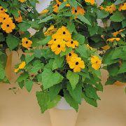 фото Тунбергия лиана домашние комнатные цветы и растения