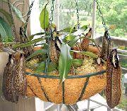 фото Непентес (кувшиночник) лиана домашние комнатные цветы и растения